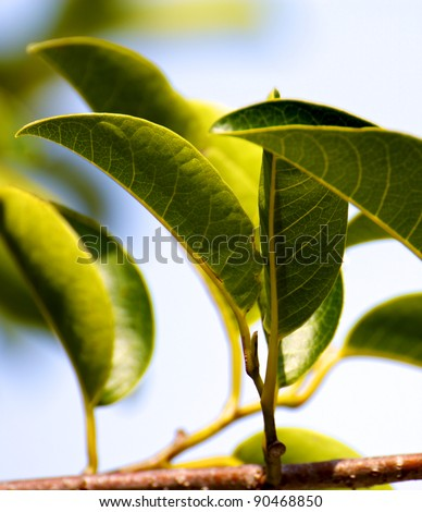 A closeup of a couple of fresh thick mangrove leaves on the branch. - stock photo