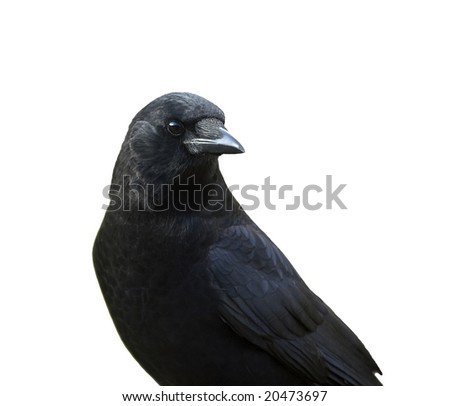 A closeup of a crow isolated on a white background.