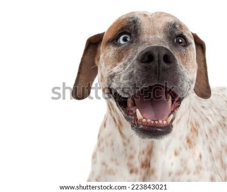 A closeup of a cute Cattle Dog, Boxer and Pointer mixed breed dog with a happy expression  - stock photo
