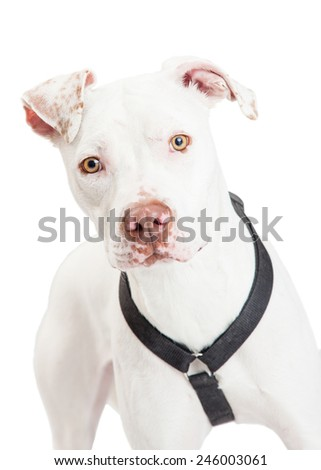 A closeup of a Dogo Argentino Dog looking forward.