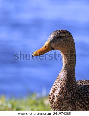 A closeup of a female Mallard Duck. - stock photo