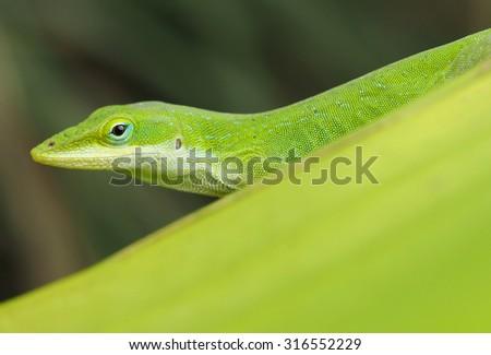 A Closeup of a Green Anole Lizard    - stock photo