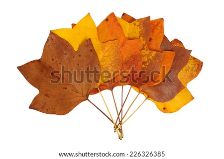 A closeup of a grungy Yellow Poplar leaves bouquet in autumn foliage colors isolated against a white background. - stock photo
