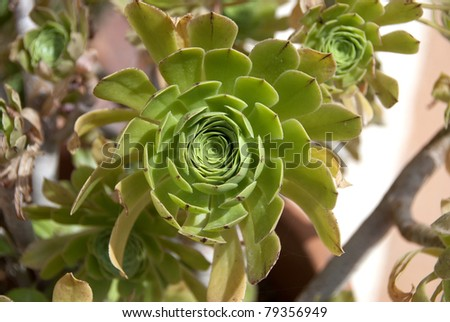 A Closeup of a Houseleek Sempervivum Tectorum