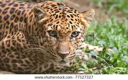 A closeup of a leopard - stock photo
