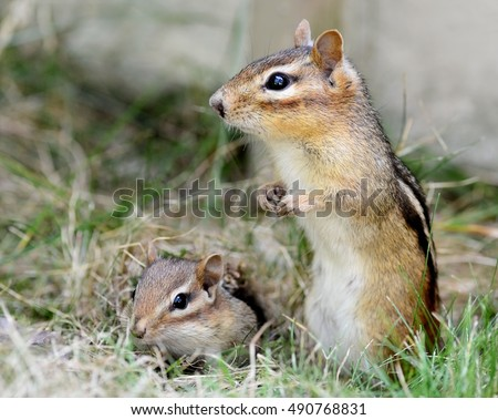 A closeup of a mother chipmunk and her adorable baby sitting by the burrow hole