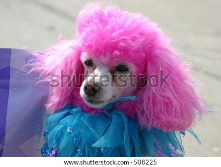 A closeup of a pink poodle. - stock photo