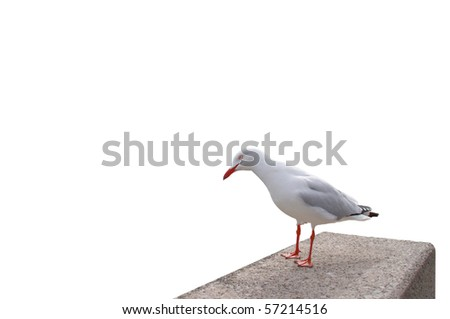 A closeup of a seagull staring inquisitively at the viewer, isolated on white - stock photo