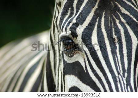 A closeup of a wet zebra eye in rain - stock photo