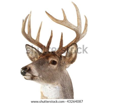 A closeup of a whitetail deer looking towards the left - stock photo