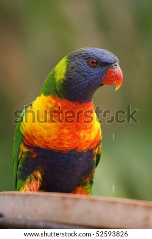 A closeup of a wild rainbow lorikeet feeding on seed. - stock photo