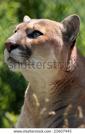 A closeup of an adult cougar looking up