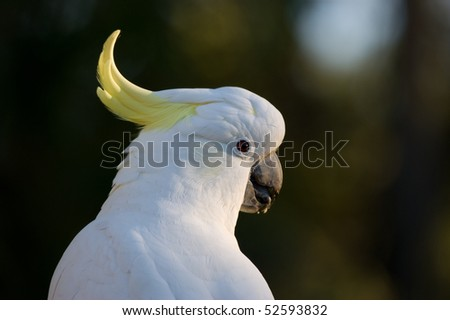 A closeup of an Australian Sulphur Crested Cockatoo looking over its sholder. - stock photo