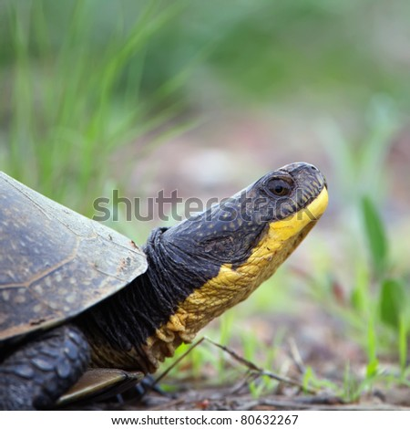A closeup of an endangered Blandings Turtle walking on the edge of a road.