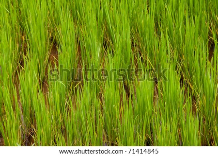 A closeup of bright green rice growing in a field - stock photo