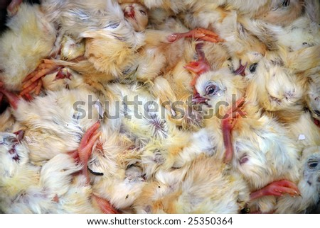 A closeup of dead chicks - stock photo