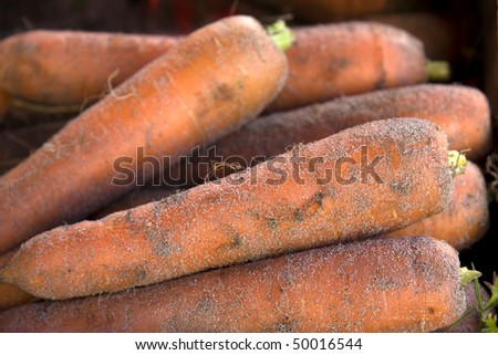 A closeup of freshly harvested carrots still covered in soil - stock photo