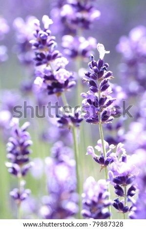 A closeup of lavender flowers - stock photo