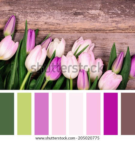 A closeup of pink and purple tulips over old wood background, in a colour palette with complimentary colour swatches - stock photo