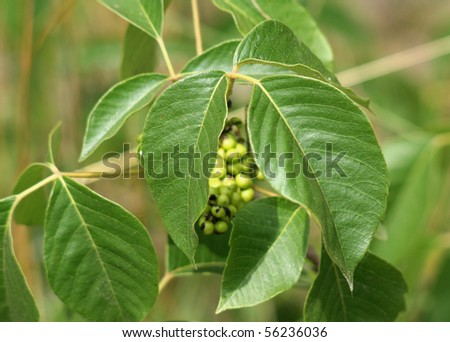 A closeup of posion ivy. - stock photo