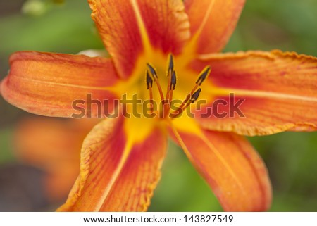 A closeup of raindrops on a Daylily flower