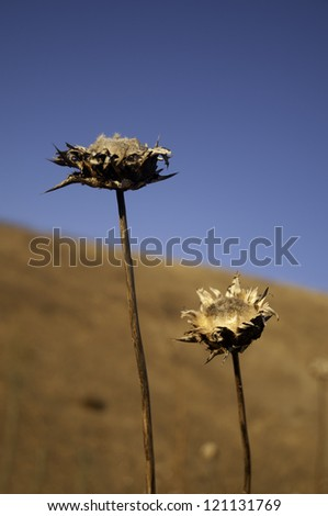 A closeup of some dried flowers against a backdrop of yellow hills. - stock photo