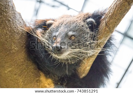 A closeup of the distinct face and long, white whiskers of a Binturong (bearcat) clinging to a tree branch.