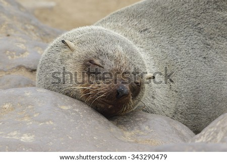 A closeup of the face of a south African fur seal sleeping on the rocky shore - stock photo