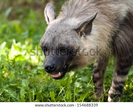 A closeup of the head of a brown hyena