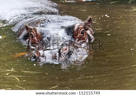 A closeup of the head of a hippo - stock photo