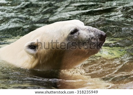 A closeup of the head of a polar bear in the water.