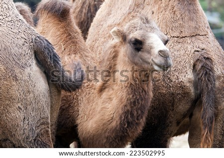 A closeup of the head of a young bactrian camel - stock photo
