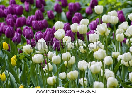 A closeup of  tulips, blooming in a garden. Colorful flowers - stock photo