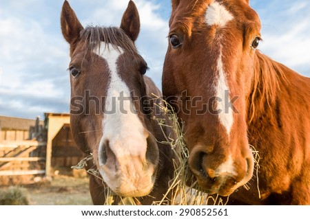 A closeup of two horses eating hay - stock photo