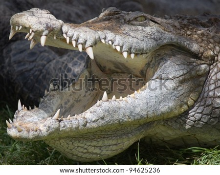 A closeup photo of a crocodile with open jaws