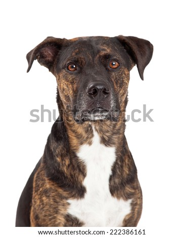 A closeup photo of a large breed dog with brindle coat looking straight forward with a serious expression