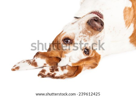 A closeup photo of a pretty Basset Hound dog with spotted ears laying upside down