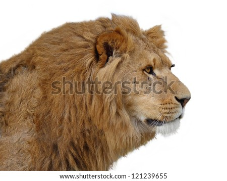 A closeup portrait of a beautiful African lion of a white background - stock photo