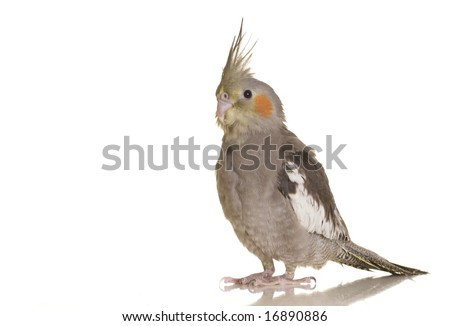 A closeup portrait of a cockatiel against a white background. - stock photo