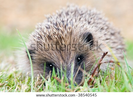 A closeup portrait of a wild hedgehog in a garden in summer. Hedgehog is looking towards the camera. - stock photo