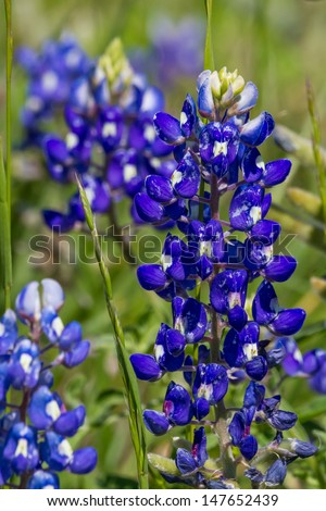 A Closeup Shot of a Couple of the Famous Texas Bluebonnet (Lupinus texensis) Wildflower, in a Texas Meadow.