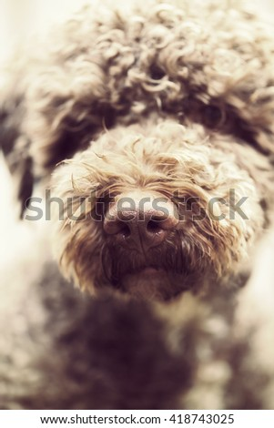 A closeup shot of a dog's nose. The breed is lagotto romagnolo also known as the truffle dog. The dog is looking forward. Focus point is on the nose tip. Image has a vintage effect applied.