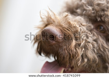 A closeup shot of a dog's nose. The dog breed is lagotto romagnolo also known as the truffle dog. - stock photo