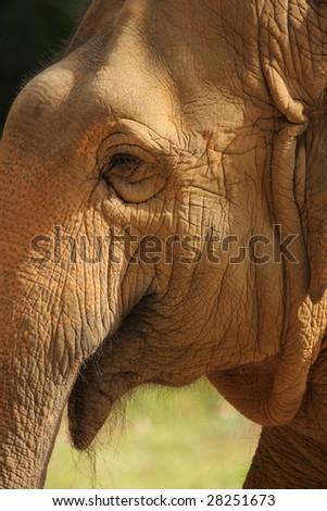 A closeup shot of an elephant in captive shone in golden sunlight. - stock photo