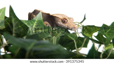 A closeup view of a Crested  gecko hiding in some fake leaves, isolated against a white background.