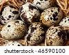 A closeup view of a quail nest - stock photo