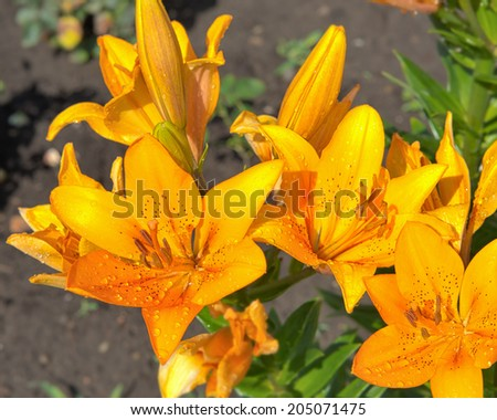 A closeup view of a variety of orange tiger lilies after rain on garden. - stock photo