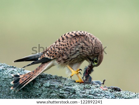 A closeup view of a young wild living kestrel (Falco tinnunculus) eating her breakfast on an old wooden fence early in the morning. Uppland, Sweden - stock photo