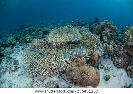 A cloud of Blue-green chromis (Chromis viridis) swim above a tropical Pacific coral colony where they can dive if a predator swims close by. These small fish are common throughout the Indo-Pacific. - stock photo