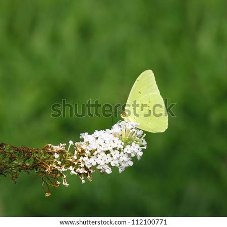 A Cloudless Sulphur (Phoebis sennae) on the tip of a white Buddleja davidii Butterfly bush. - stock photo